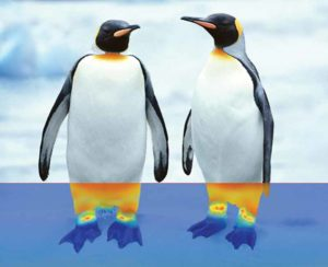 Built-in thermal breaks of emperor penguins restrict blood flow to the feet, which are regulated at much colder temperatures than the body, preventing heat loss into the environment.