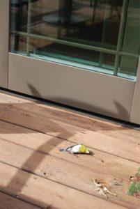 Yellow-throated Vireo killed striking a patio door.
